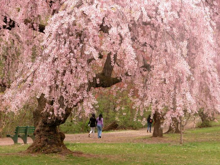 Cherry Blossom Season in NJ