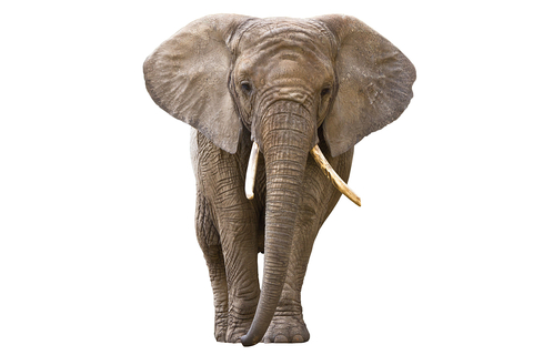 Tiny Elephant Makes An Appearance